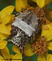 Spider - Acanthepeira stellata