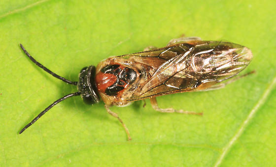 Sawfly - Craterocercus fraternalis - female