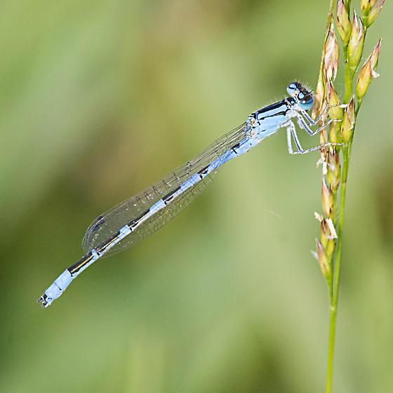 River Bluet - Enallagma anna - male