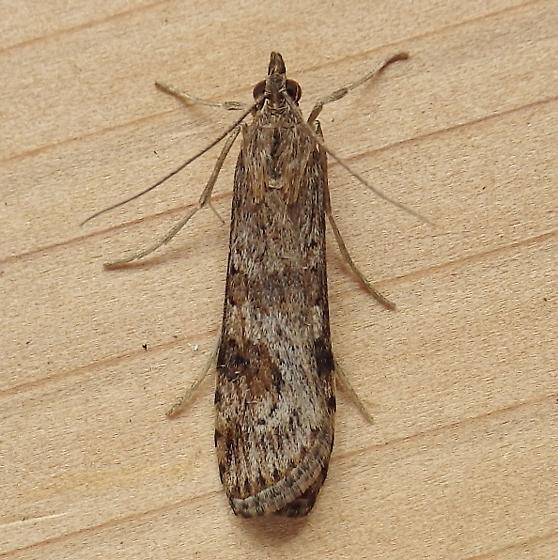 Crambidae: Nomophila nearctica - Nomophila nearctica