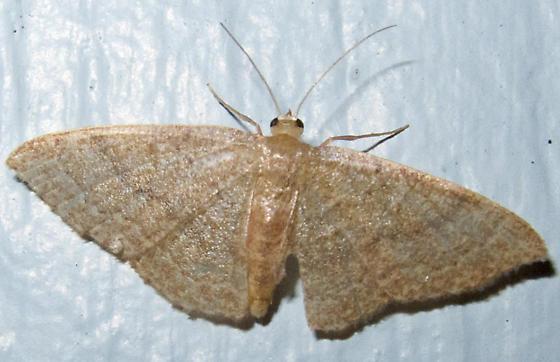 Common Tan Wave - Pleuroprucha insulsaria - female