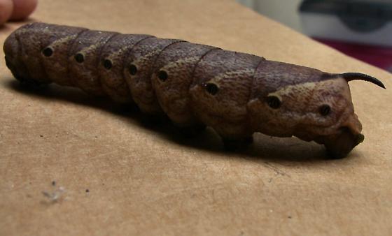 Large Horn Worm? - Agrius cingulata