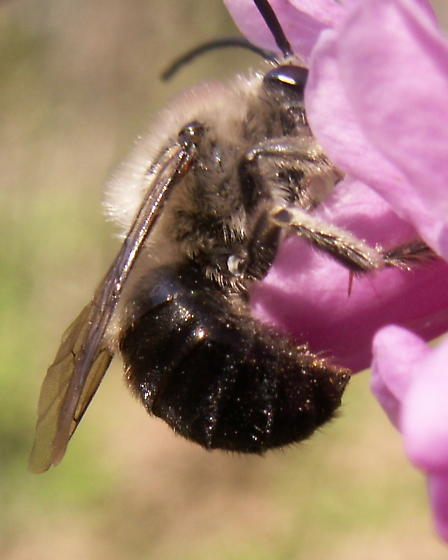 Long-horned Bee - Eucera