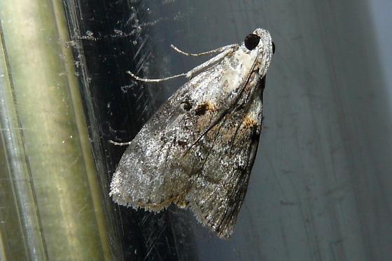 Unknown Moth - Pococera expandens
