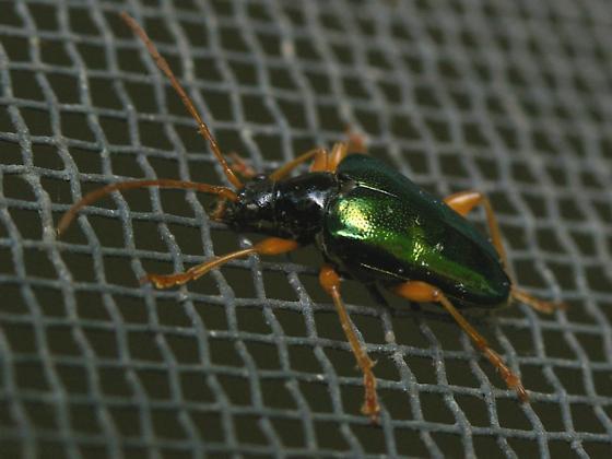 porch beetle - Gaurotes cyanipennis