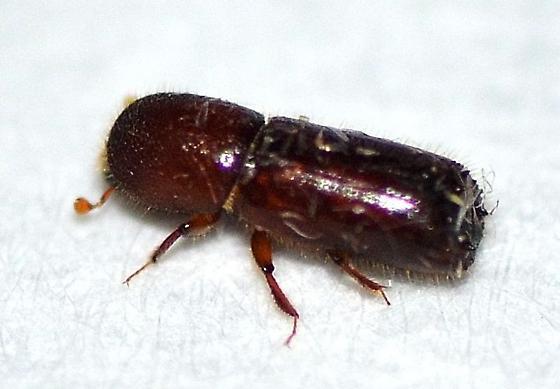 Curculionidae - Xyleborus celsus