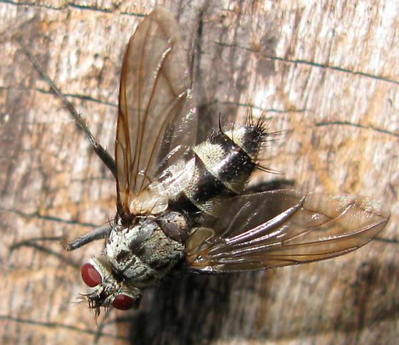 Fly (Tachinidae) - Zelia vertebrata - female