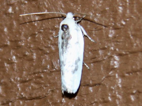 Antaeotricha species - Antaeotricha