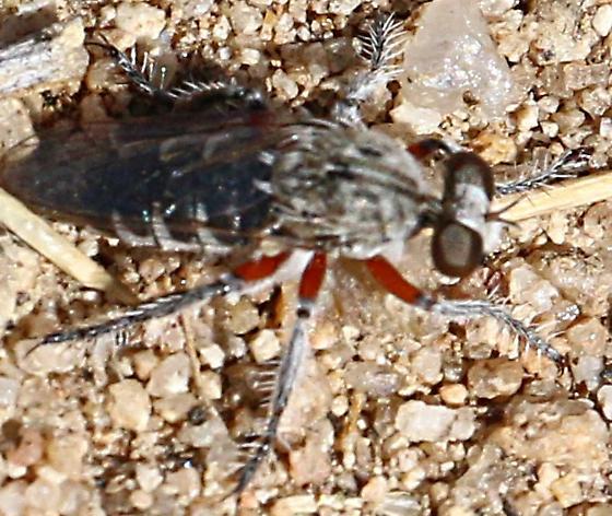 Robber fly - Hodophylax
