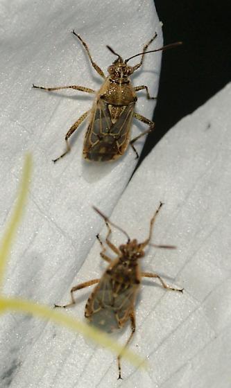 Evening Primrose Bugs, Liorhyssus hyalinus? - Liorhyssus hyalinus