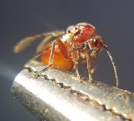 Gall Wasp second specimen - Andricus quercuscalifornicus