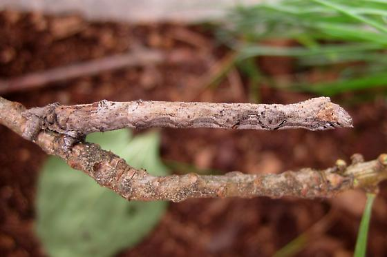 Cryptic stick-mimic caterpillar - Tetracis cachexiata