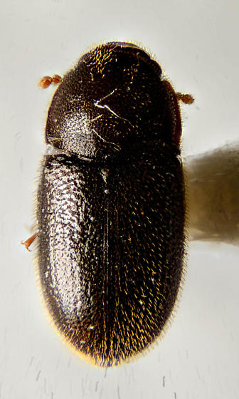 Little Round Beetle...