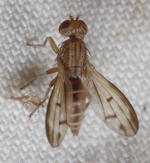 Opomyzidae? - Opomyza petrei - female