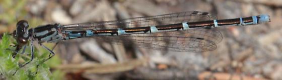 Coenagrion interrogatum - female
