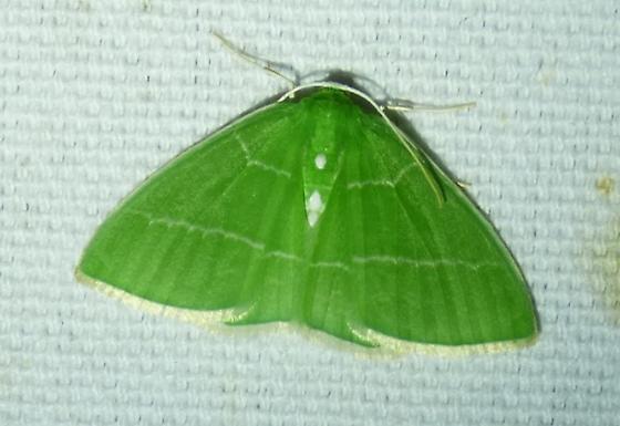 unknown moth - Nemoria mimosaria - female