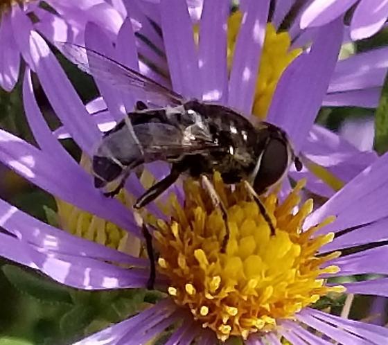 Illinois Syrphid - Eristalis dimidiata - female