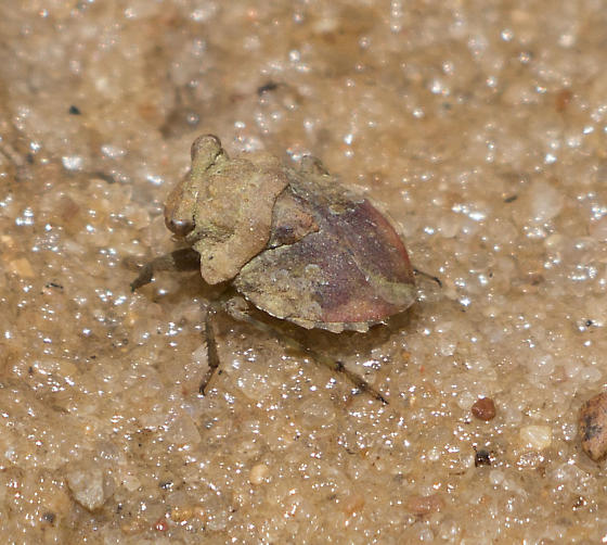 Tiny Hopping Insect - Gelastocoris oculatus
