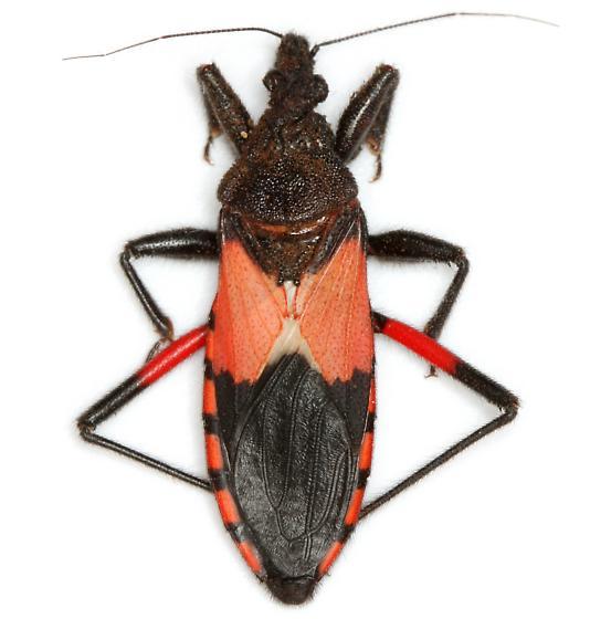 Microtomus purcis (Drury) - Microtomus purcis
