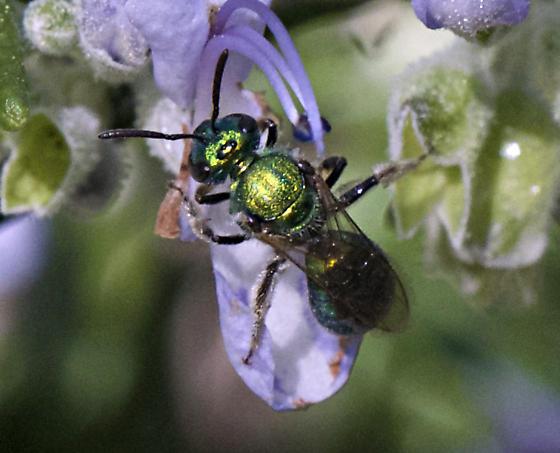 Green Halictid - Augochlorella