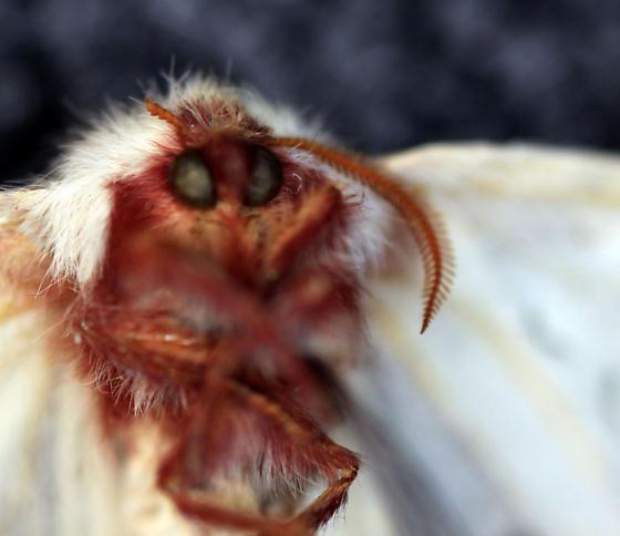 unknown moth - Hemileuca neumoegeni