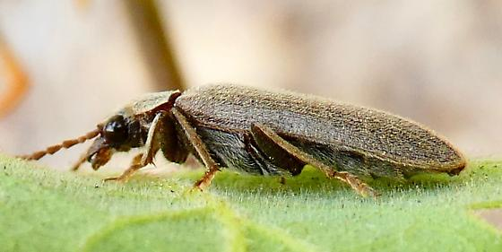 Beetle  - Anorus piceus