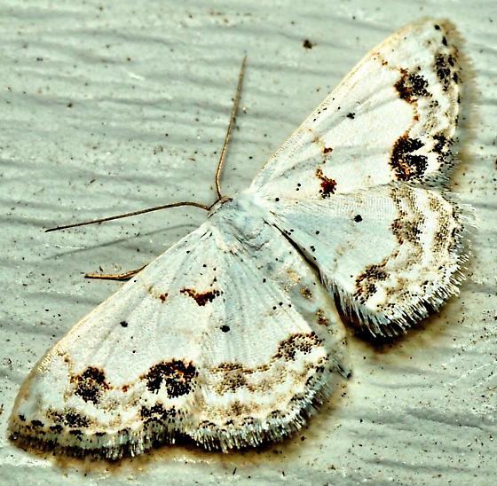 Large Lace-Bordered Moth? - Scopula lautaria