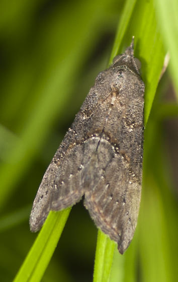 Is this another Hypena scabra? - Hypena scabra
