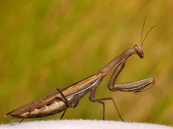 European Praying Mantis - Mantis religiosa - female
