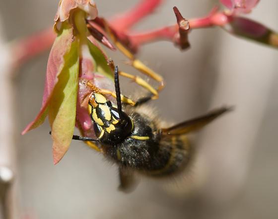 Yellow jacket - Dolichovespula alpicola