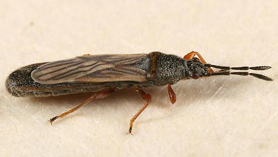 Lygaeidae? - Ischnodemus falicus