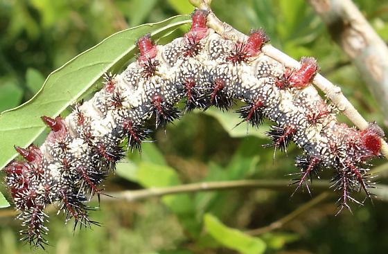 Buck Moth Caterpillar - Hemileuca maia