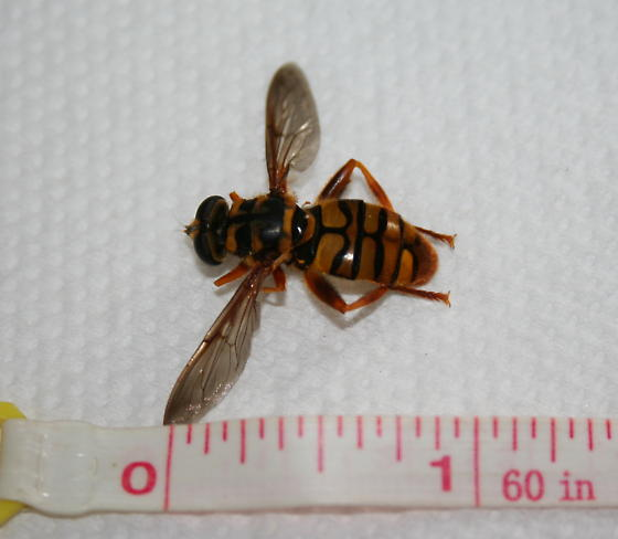 winged wasp-like insect with yellow or gold and black markings - Milesia virginiensis