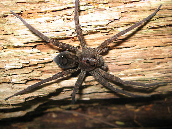 Large spider ident needed   - Dolomedes vittatus