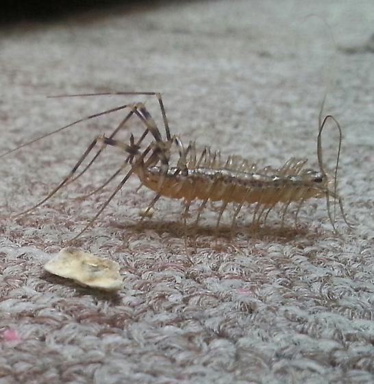 anyone know what this is?  - Scutigera coleoptrata