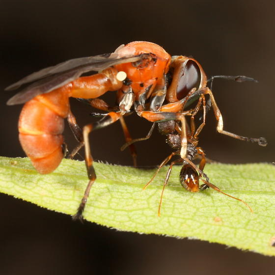 Conopid being attacked by an ant - Physocephala