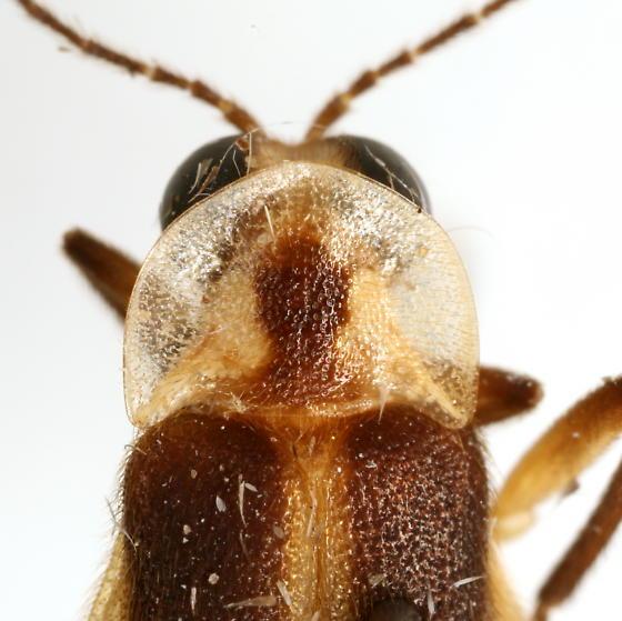 Photuris frontalis COMPLEX - Photuris frontalis - male