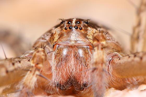 Nursery Web or Fishing Spider? - Tinus peregrinus