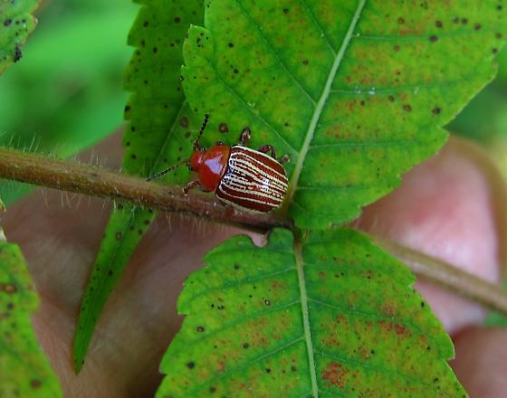small red-thorax  striped beetle - Blepharida rhois