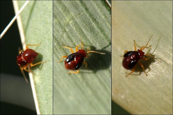 Miridae Nymphs - Halticotoma valida