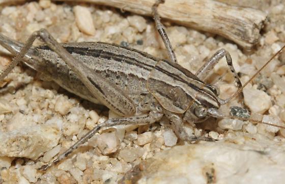 Ateloplus luteus f - Ateloplus luteus - female