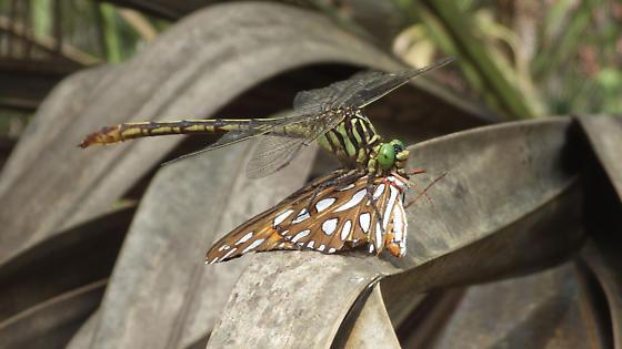 Dromogomphus armatus (Southeastern Spinyleg) - Dromogomphus armatus - female