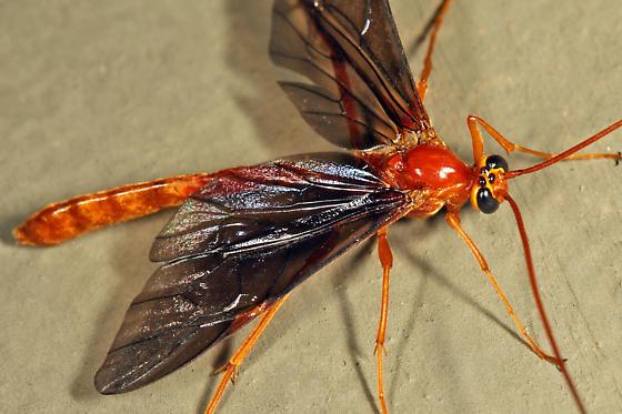 dark-winged Ichneumon - Ophion slossonae
