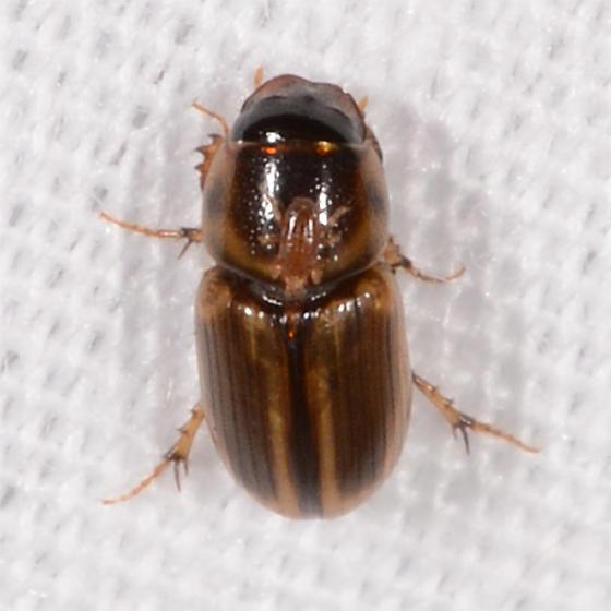 small beetle - Labarrus pseudolividus