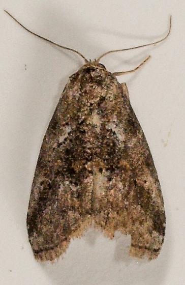 Moth to porch light  - Hyperstrotia nana