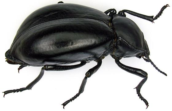 Female, Stenomorpha convexa? - Stenomorpha convexa