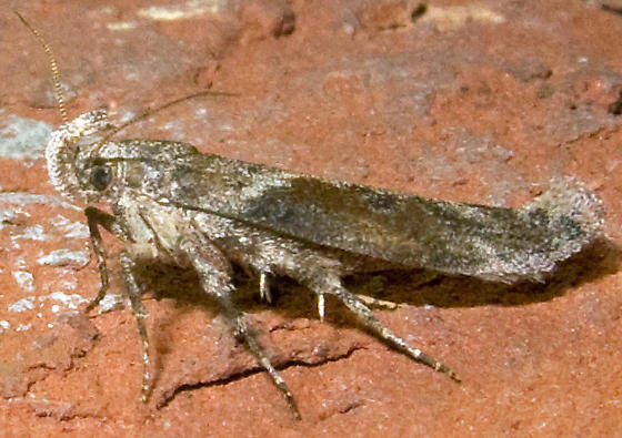 Twirler Moth - possibly Gnorimoschema gallaesolidaginis  - Gnorimoschema gallaesolidaginis