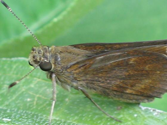 brown skipper - Little Glassywing?  - Lerema accius
