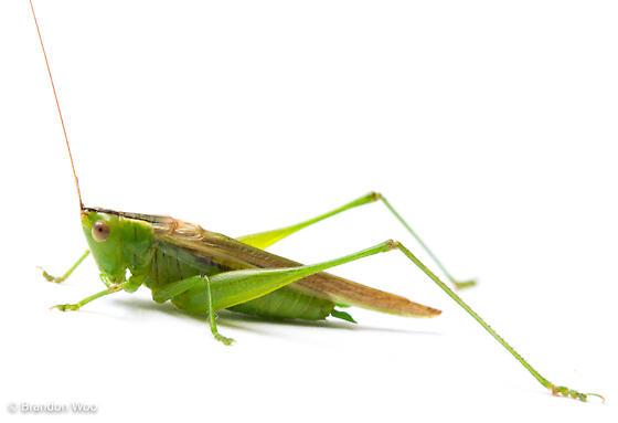 Conocephalus fasciatus - male