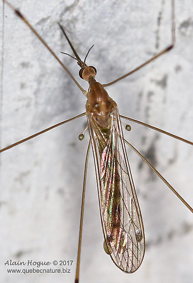 Diptera ? - Limonia communis - male
